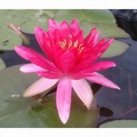 Зимостойкие водные растения
